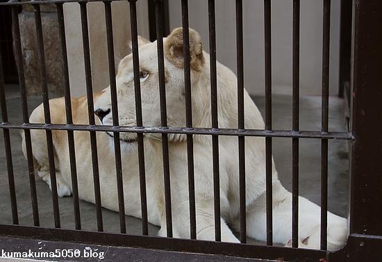 ホワイトライオン_60