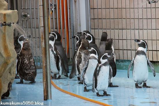 フンボルトペンギン_72