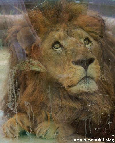 ライオン_794