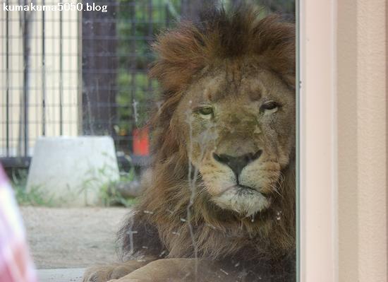 ライオン_799