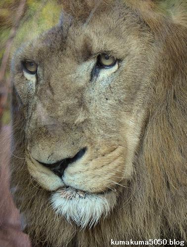 ライオン_802