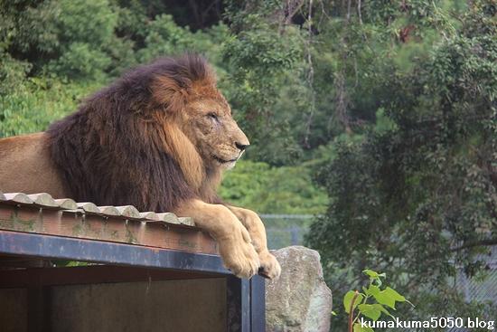 ライオン_811