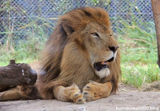 ライオン_824