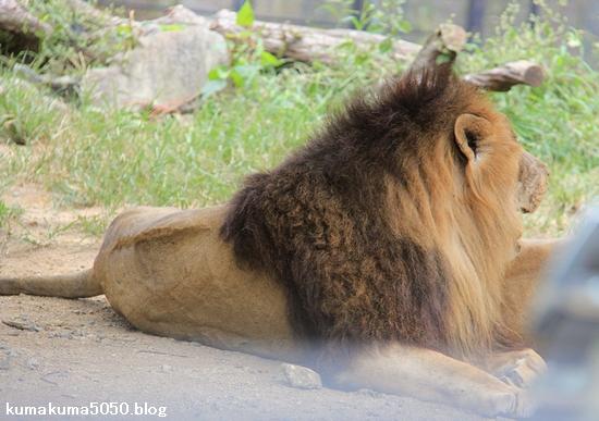 ライオン_831