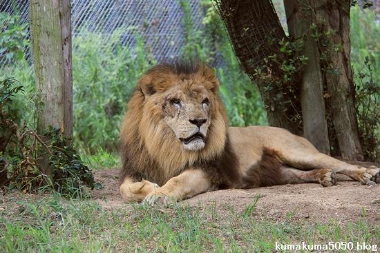 ライオン_832