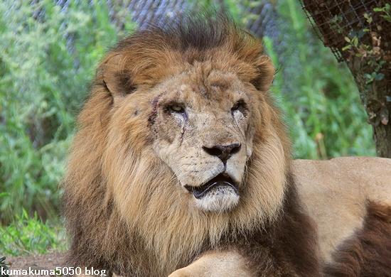 ライオン_833