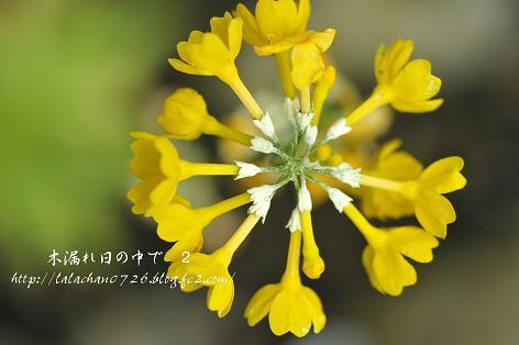 黄花九輪草
