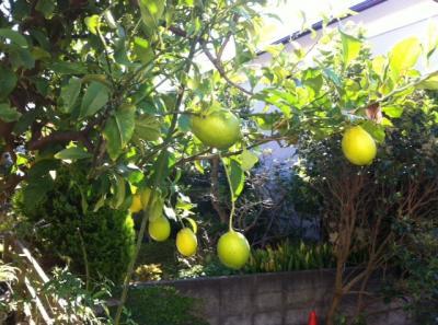 檸檬の彩づき