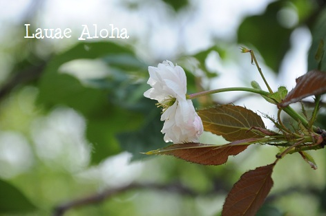 遅咲きの桜