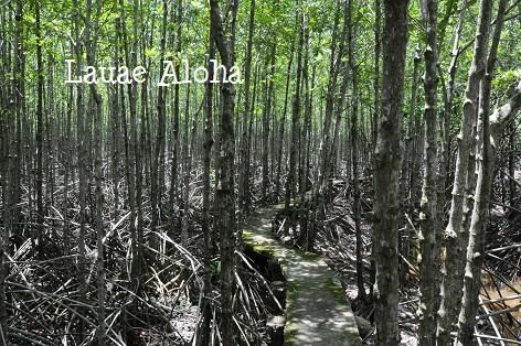 マングローブ原生林散歩