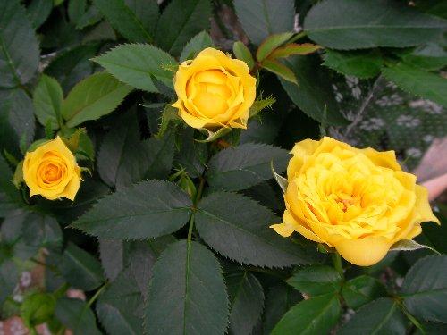 20140918ミニバラ黄色①