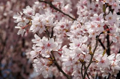 13-4-28桜2