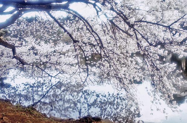rere-桜1