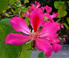 バウヒニア洋紫荊