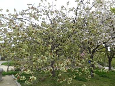 東山植物園 桜
