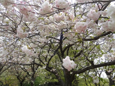 東山植物園 桜2