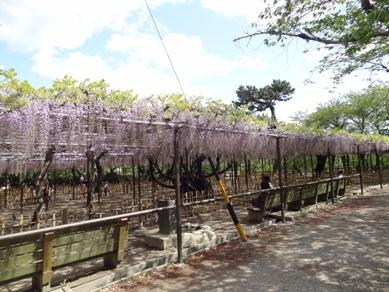 岡崎公園の藤1