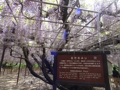 岡崎公園の藤2