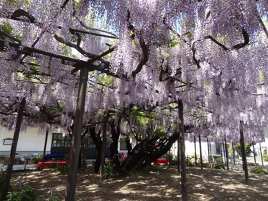 竹鼻別院の藤4
