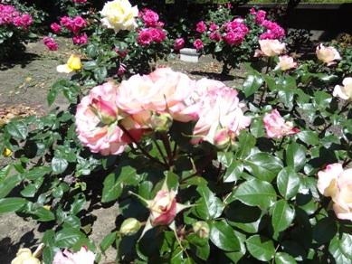 元浜公園 花壇のバラ
