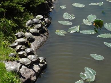 上野台公園のカメ