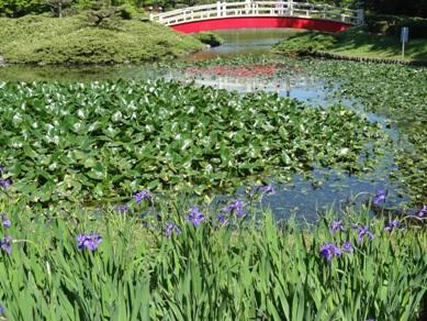 上野台公園のカキツバタ