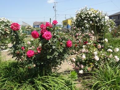 セントレディースクリニックのバラ2