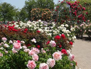 ミササガパークのバラ8