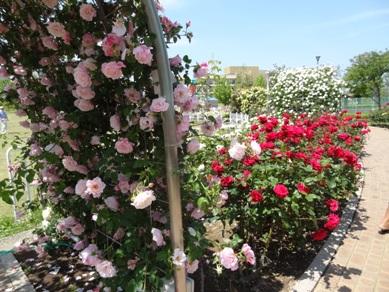 ミササガパークのバラ2