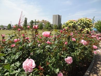 ミササガパークのバラ3