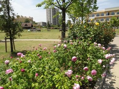ミササガパークのバラ4