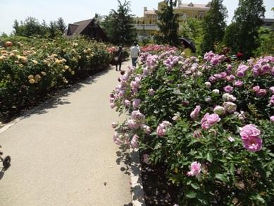 ミササガパークのバラ6