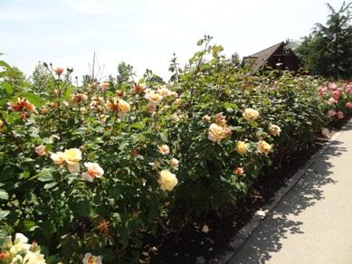 ミササガパークのバラ7