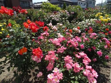 慈眼寺のバラ6