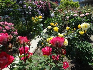慈眼寺のバラ7
