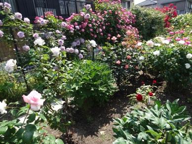 慈眼寺のバラ2