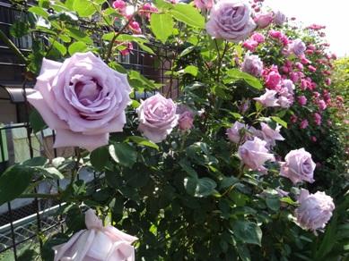 慈眼寺のバラ3