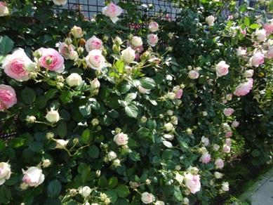 慈眼寺のバラ4