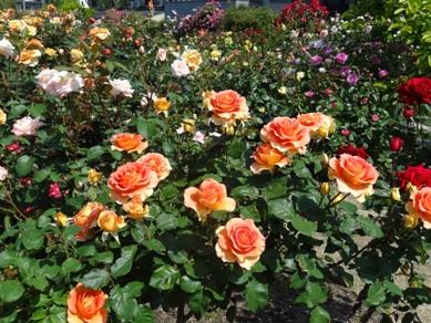 慈眼寺のバラ5