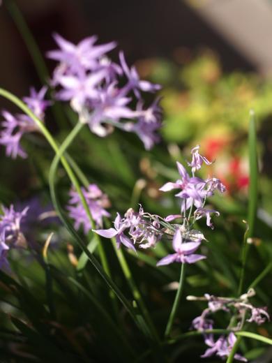 ニラの花という呼び名の花で本名は不明