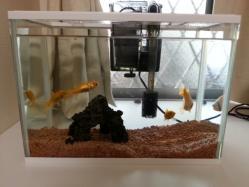 【子供と遊ぶ】 子供金魚を飼う♪お祭りで獲った金魚とタニシの共存!