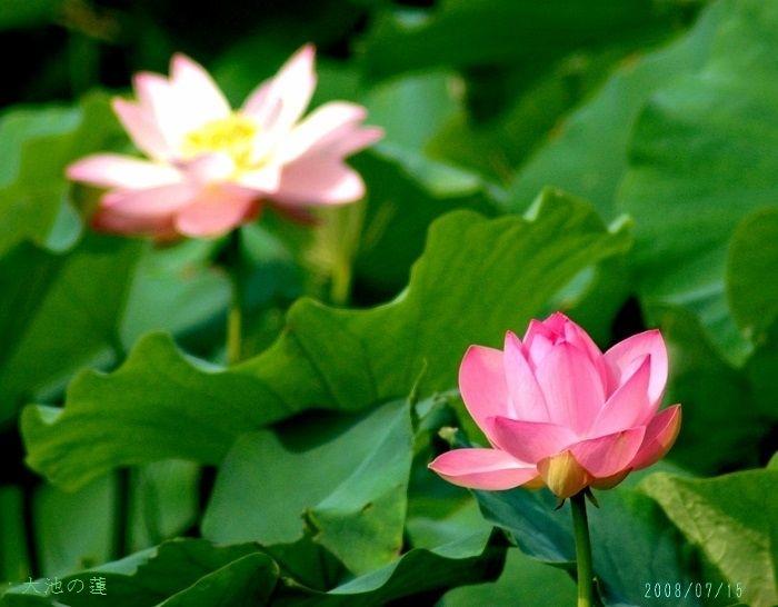 大池の蓮3 (700x546)