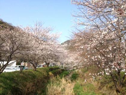 shinkawa_sakura_1.jpg