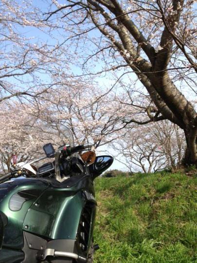 shinkawa_sakura_2.jpg