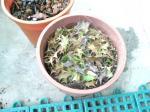 ヒイラギ落葉