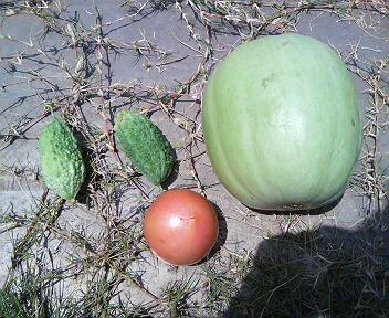 ゴーヤ・メロン・トマト