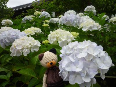 資福寺の白い紫陽花