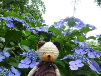 資福寺のガク紫陽花