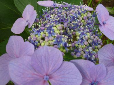 ガク紫陽花