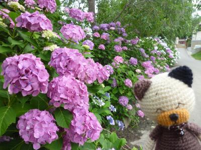 資福寺のピンクの紫陽花
